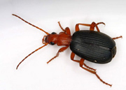 Dragon_bombardier-beetle